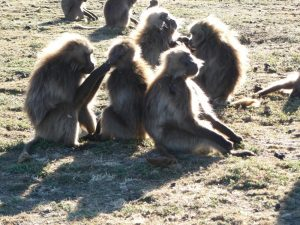 baboons Simien Mountains Ethiopie